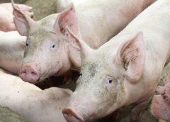 Agência detecta mais três focos de peste suína no Ceará