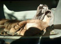 Onça é resgatada pela PM, mas morre por falta de atendimento veterinário no Ceará