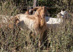 Bode pode ser 'vilão' da desertificação ou fonte de renda sustentável na caatinga
