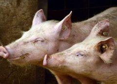 Consumo de carnes é responsável por surgimento de pandemias, aponta pesquisa