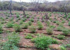Plantação com 4,5 mil pés de maconha é encontrada no interior do Ceará